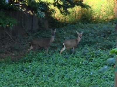 A deer family hanging out in the backyard was a common sight.